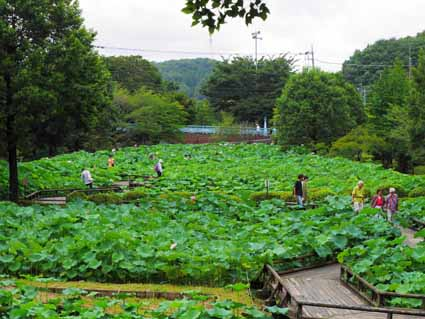 01ハス池の全景を望むP1120797 (1).jpg