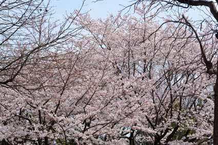 03近くの企業の構内の桜DSC_1606.jpg
