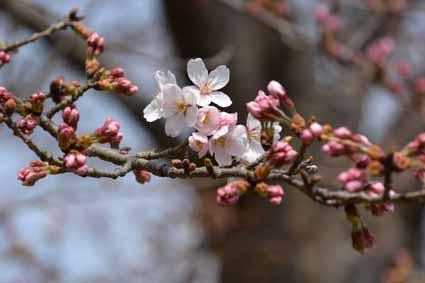 05近くの街路樹の桜DSC_1637.jpg