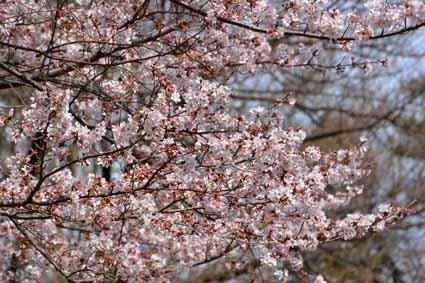 08近くの公園の桜DSC_1659.jpg