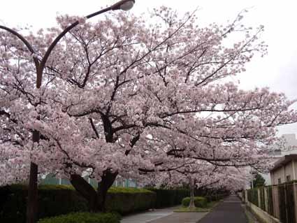 1.桜満開.jpg