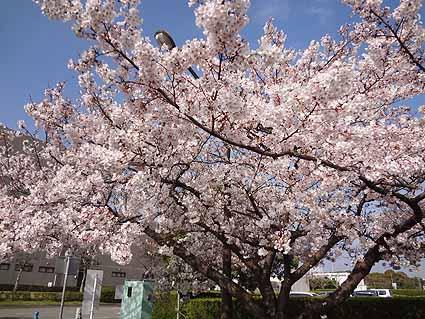 1.知多も桜満開.jpg