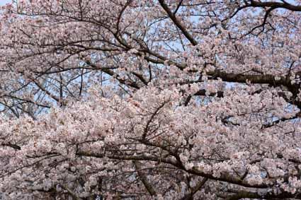 11多摩市奈良原公園の桜DSC_1703.jpg
