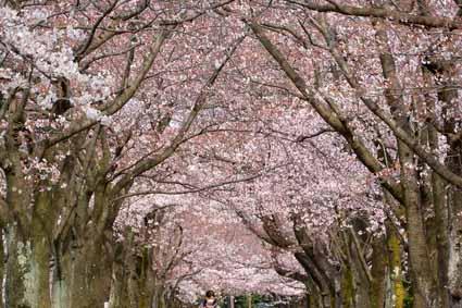 12多摩市奈良原公園の桜DSC_1712.jpg
