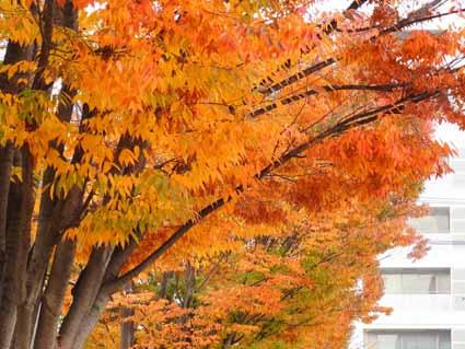 15東口駅前通り歩道の街路樹の紅葉(ケヤキ等)R1083485 (2).jpg