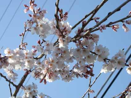 1桜多中.jpg