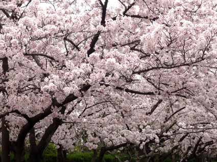 2.桜満開.jpg