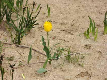 2.砂地にチューリップ.jpg