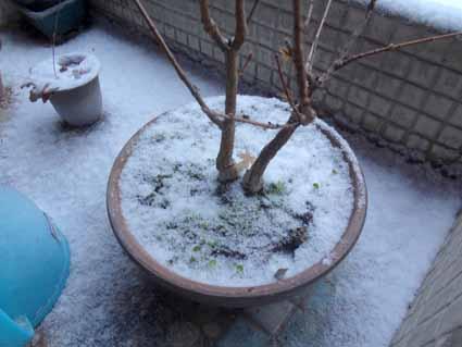 2.軒下の盆栽にも雪が.jpg