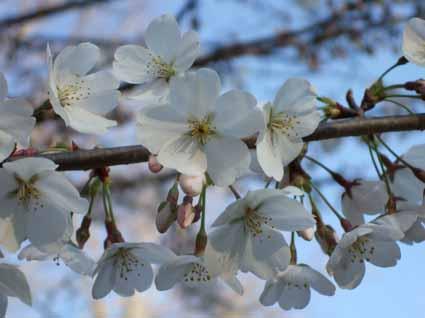 2桜中.jpg