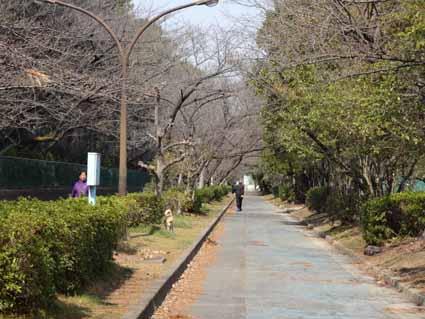 3.後数日で桜満開の遊歩道.jpg