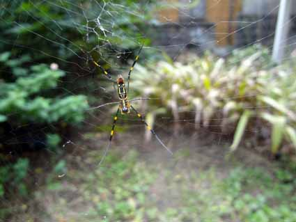 3.我が家の庭にクモが.jpg