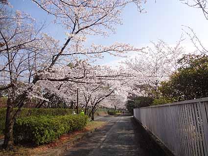 3.桜並木5部咲きの木も.jpg