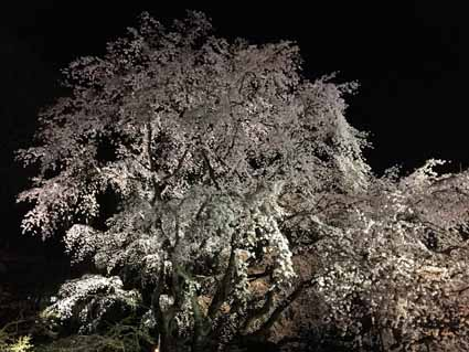 3六義園の枝垂れ桜01.jpg
