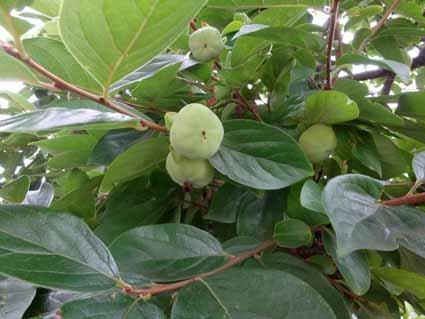 4.柿の実も順調に育っています.jpg