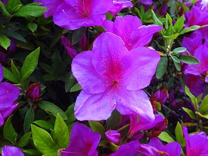 4.紫色の様なつつじ.jpg