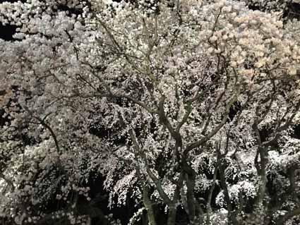 4六義園の枝垂れ桜02.jpg