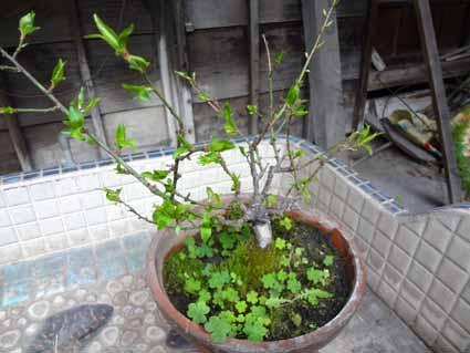 5.梅来冬には咲くでしょうか.jpg