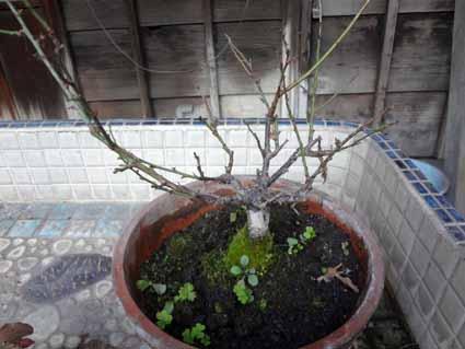 5.梅盆栽丸裸です.jpg