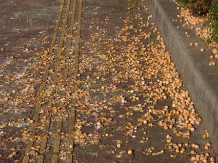 6.銀杏で道路はひどいものです.jpg