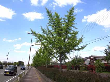 6.銀杏の葉が鮮やかです.jpg