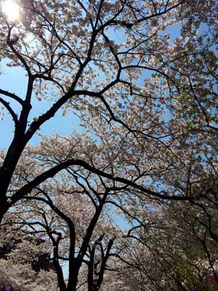 6播磨坂の桜.jpg