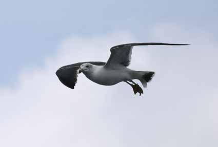 ウミネコ飛翔.jpg
