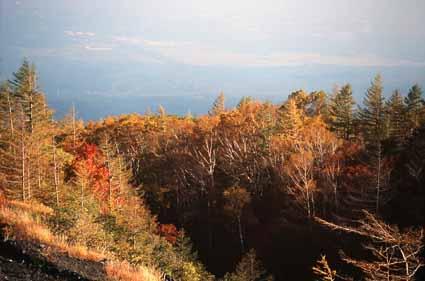 カラマツ林紅葉.jpg
