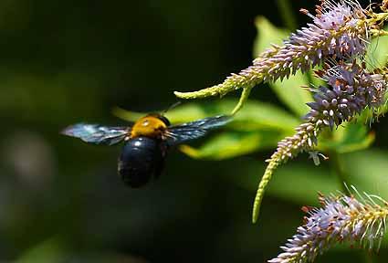 クマバチ.jpg