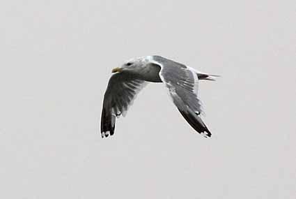 セグロカモメ飛翔.jpg