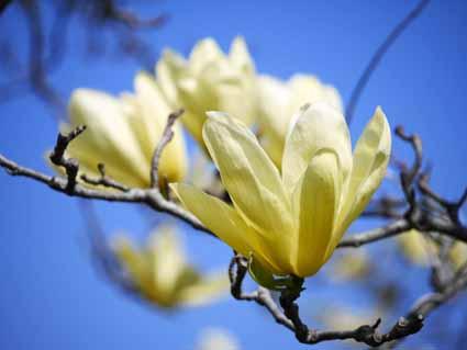 マグノリア(黄色)P1100067 (1).jpg