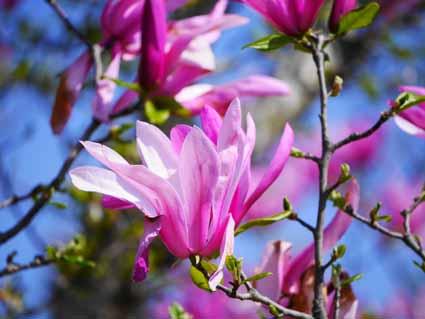 マグノリア(紫)P1100068 (1).jpg