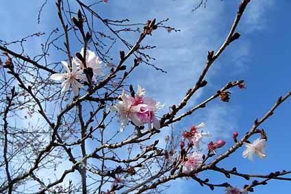 十月桜_0238.jpg