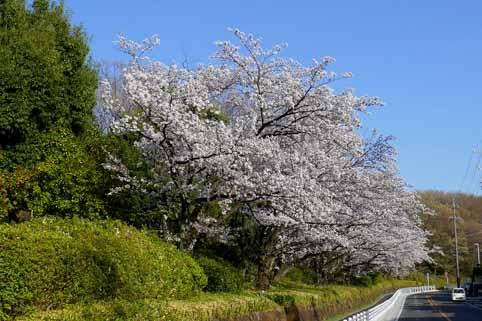 名古屋市名東区猪高緑地の桜.jpg