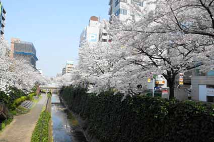多摩センター駅近くの川沿いの桜01.jpg