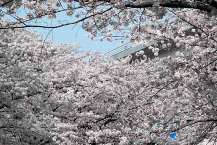 多摩センター駅近くの川沿いの桜03.jpg