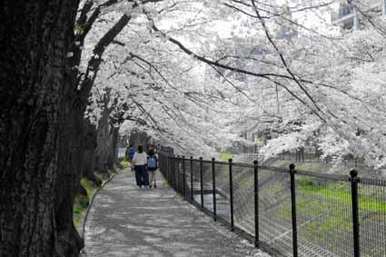 多摩センター駅近くの川沿いの桜04.jpg