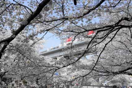 多摩センター駅近くの川沿いの桜06.jpg