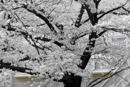 多摩センター駅近くの川沿いの桜07.jpg