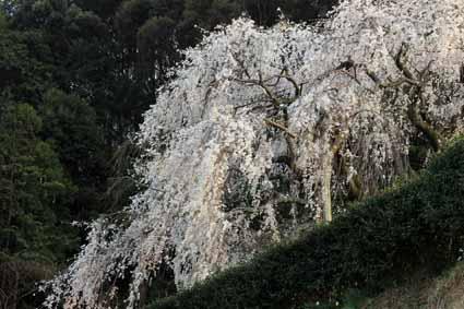 奥山田しだれ桜1.jpg