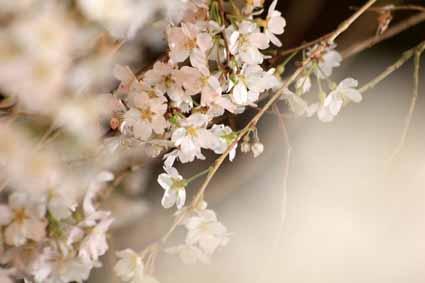 奥山田しだれ桜6.jpg