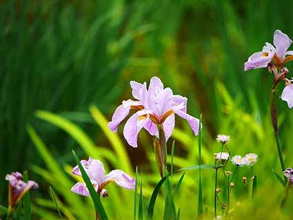 菖蒲園のショウブ咲き始めP1100673 (1).jpg
