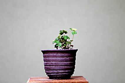 5、緑化カラマツ草.jpg