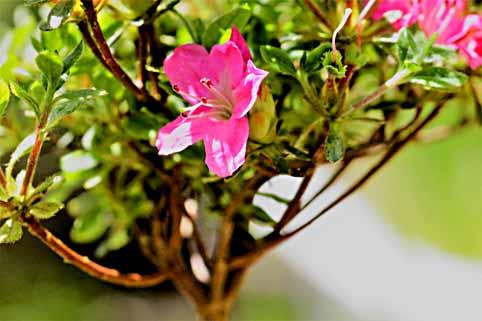 6、雲仙ツツジの花.jpg